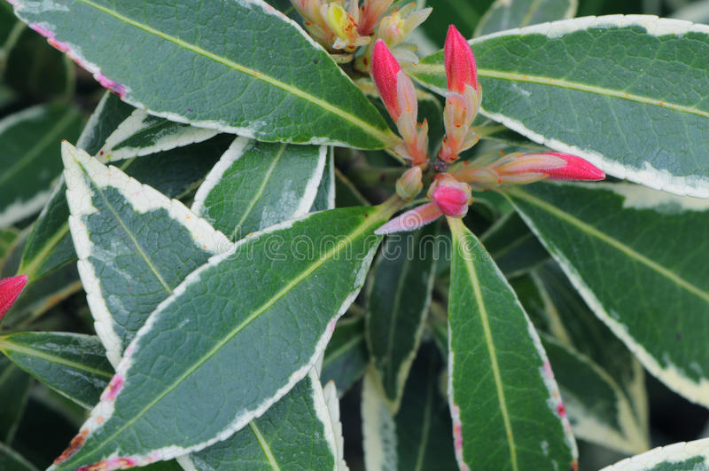 Variegated Japanese Andromeda stock photography