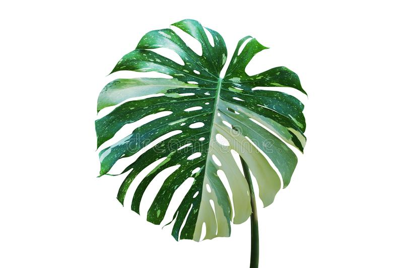Variegated Leaf of Monstera Tropical Plant Isolated on White Background. Variegated Leaf of Monstera Plant Isolated on White Background stock photo