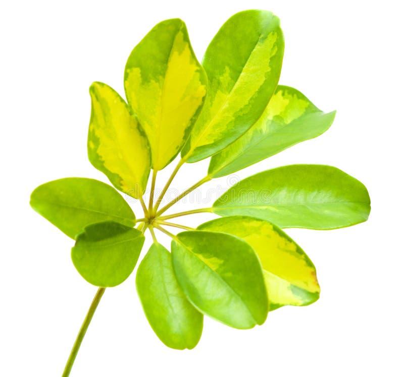 Variegated leaf of Schefflera arboricola stock photo
