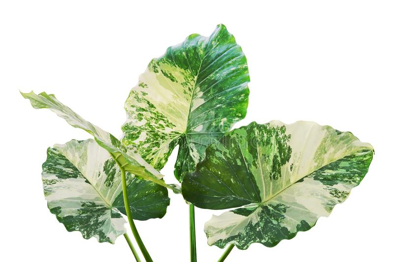 Variegated Leaves of Elephant Ear Plant Isolated on White Background royalty free illustration