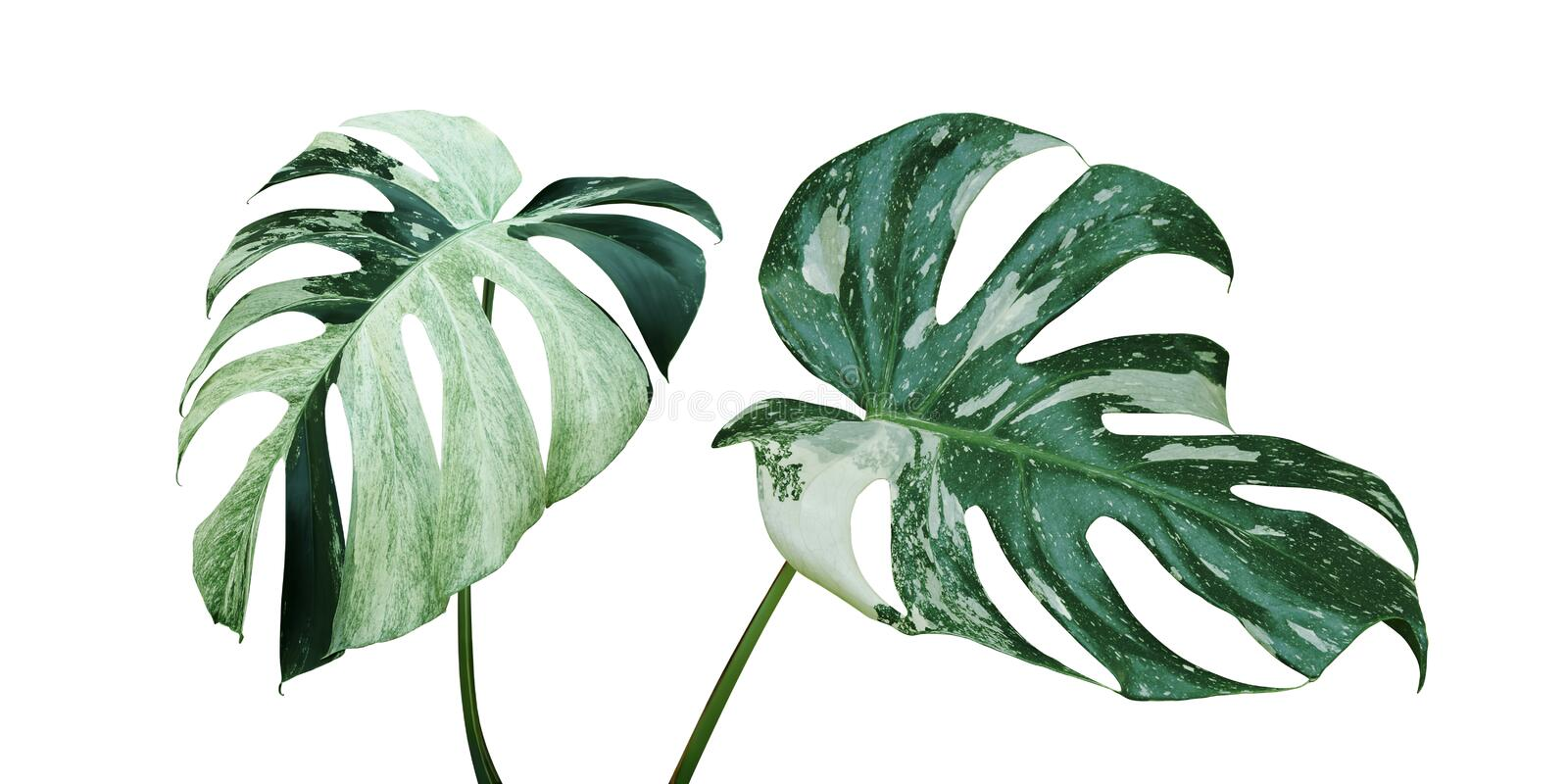 Variegated Leaves of Monstera Plant Isolated on White Background royalty free stock images