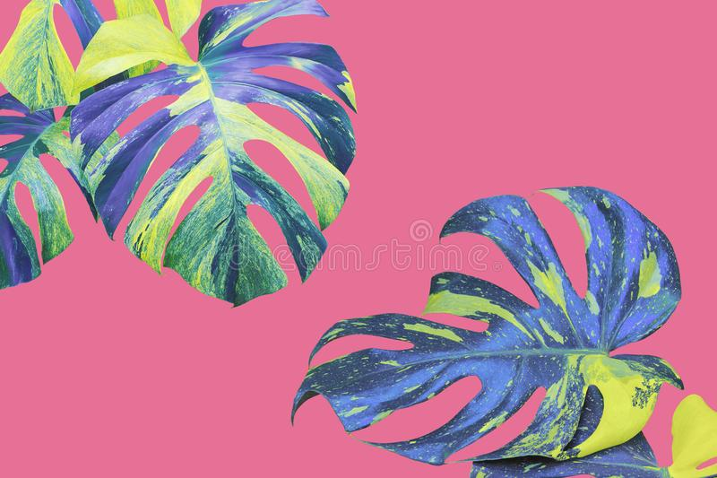 Variegated Leaves of Monstera, Split Leaf Philodendron Plant in Yellow Blue Tone Color on Pink Background. Variegated Leaves of Tropical Monstera, Split Leaf royalty free stock image