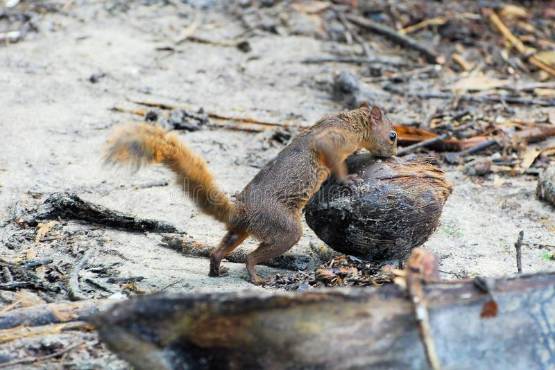 Variegated squirrel with a coconut - Costa Rica. Variegated squirrel - Sciurus variegatoides is a tree squirrel with coconut and water - Costa Rica - Central royalty free stock images