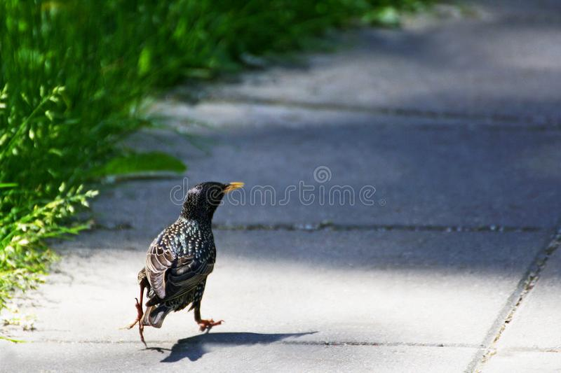 Variegated Starling. Starling. European variegated Starling is on the road along the thick green grass royalty free stock photo