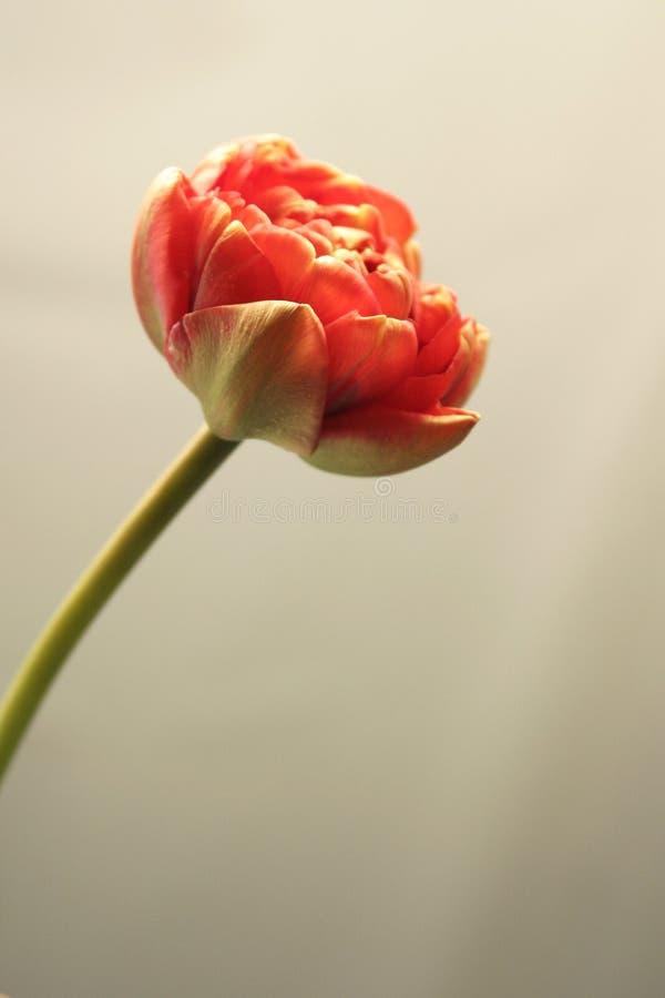 Variegated tulip flower on monochrome background. stock photo