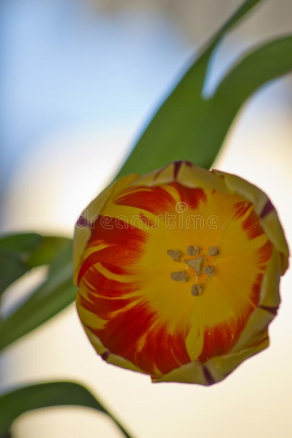 Variegated yellow tulip variety. Red stripes pattern is caused by a mosaic virus, producing amazing colourful petals. stock photos