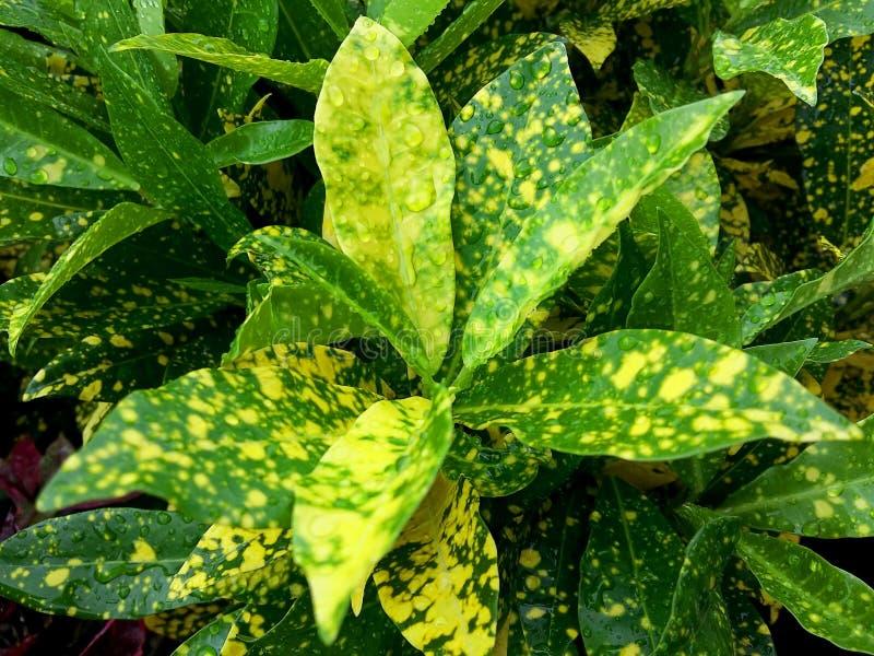 Variegatium Codiaeum имеет падение воды стоковые фото