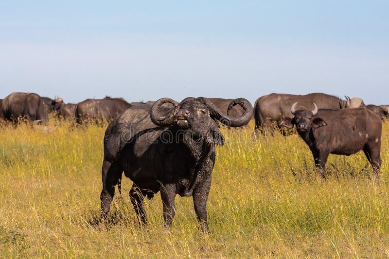 Variera den stora buffeln - den alfabetiska mannen Serengeti Afrika royaltyfria bilder