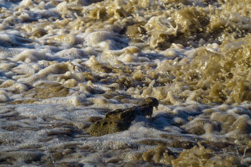 Variera lat fiske Nilenkrokodil på den Grumeti floden Tanzania Afrika arkivfoto