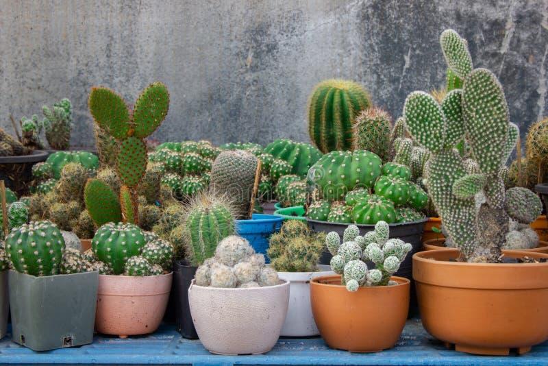 Varietà del cactus piantata in piccoli vasi allineati immagine stock libera da diritti