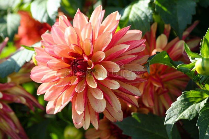 Varietà di dalia pazza delle gambe del crisantemo, un fiore in primo piano, un grande flowe arancio-rosso-rosa fotografie stock libere da diritti