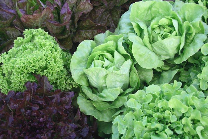 Varietà di lattughe organiche fotografie stock