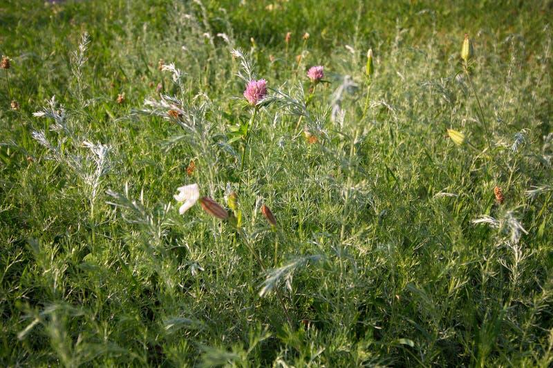 Varietà di wildflowers e di erbe su un prato soleggiato immagini stock