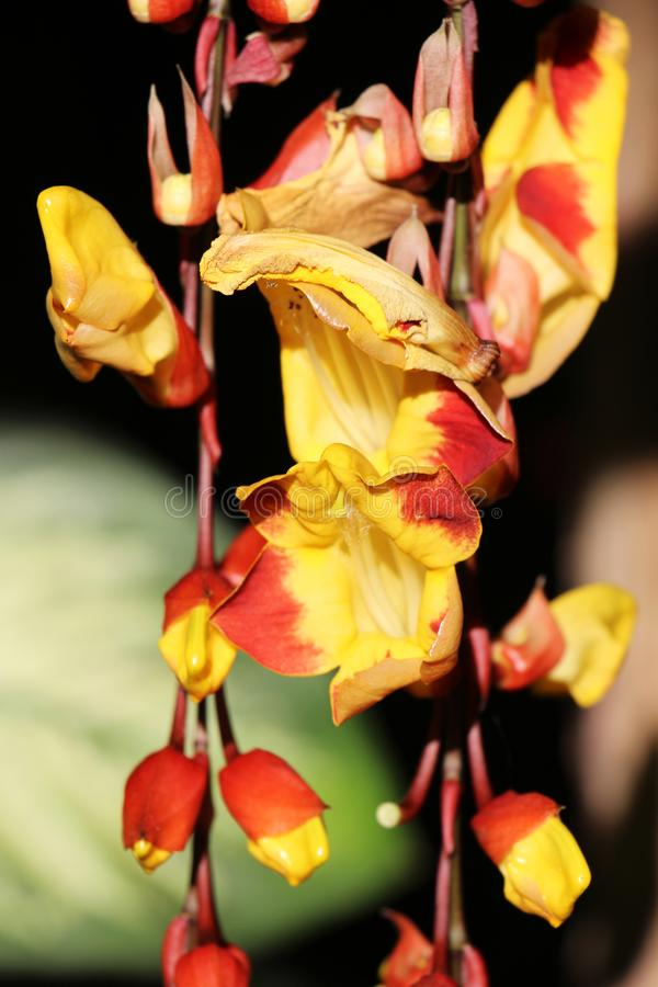 Varietà gialle pianta dello zenzero rosso e fiore - fiori di Matagalpa Nicaragua fotografie stock