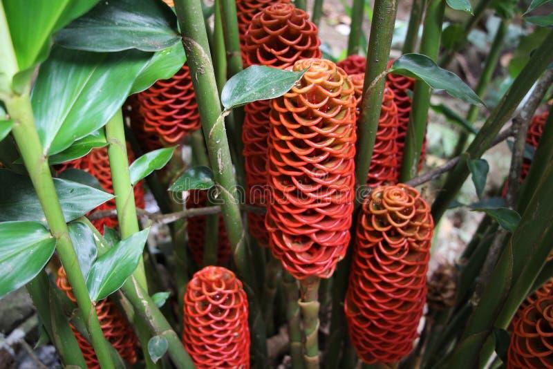 Varietà pianta dello zenzero e fiore - fiori di Matagalpa Nicaragua fotografie stock libere da diritti