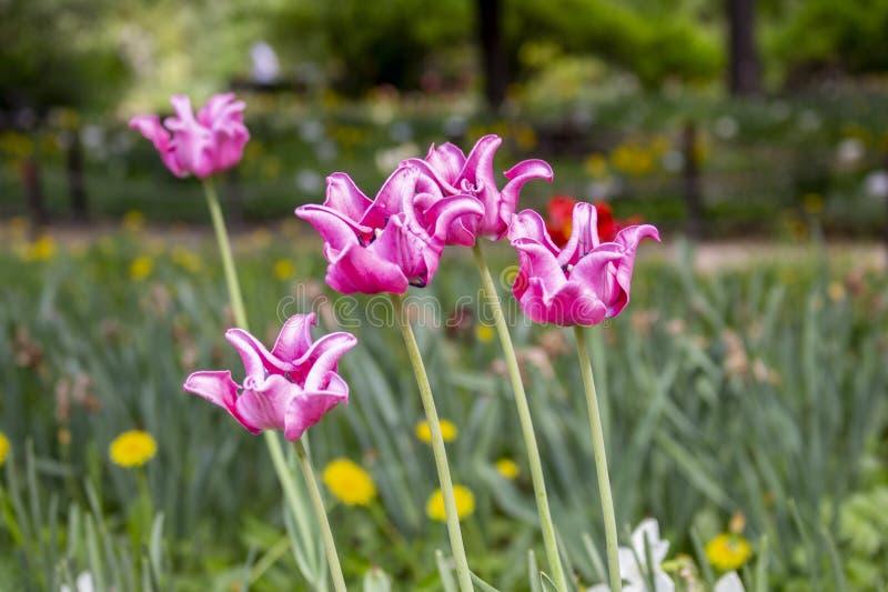 Varietal leluja kształtujący tulipan czerwieni menchii róży kwiat w ogródzie Tulipany niezwykły kierowniczy kształt obraz stock