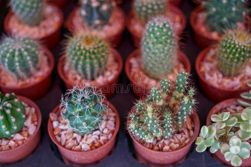 Varieties of lovely small cactus with different head and spine in brown plant pot with pebble selling in garden decoration market stock images