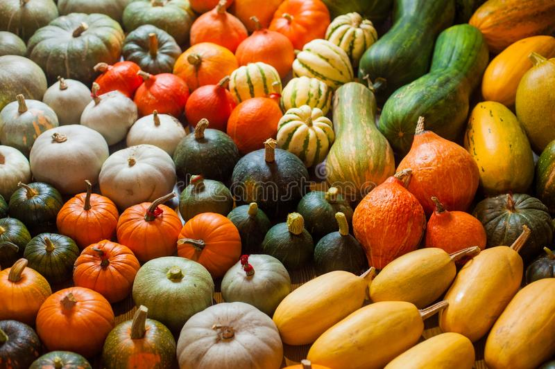 Varieties of squashes and pumpkins. stock images