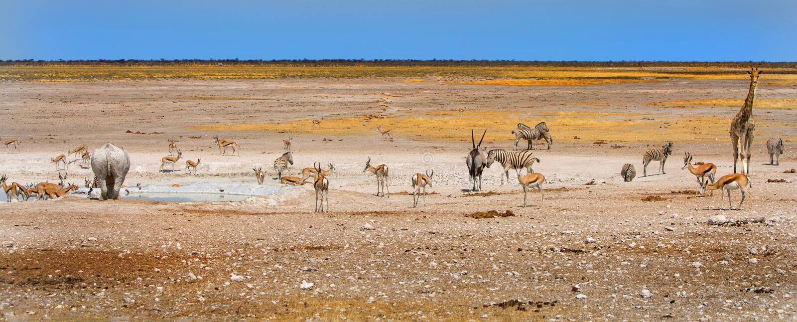 A variety of animals around a waterhole in Etosha National Park. Black Rhino, Giraffe, Gemsbok Oryx Zebra and springbok surround a waterhole in Etosha National royalty free stock image
