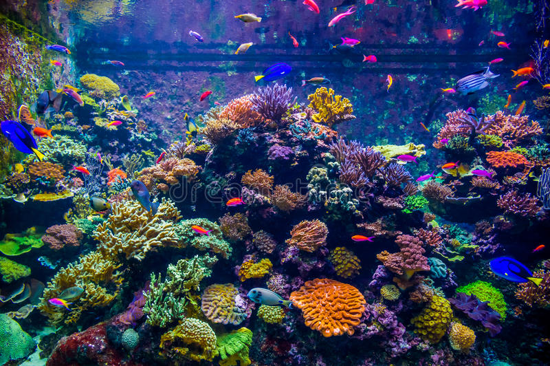 A variety of bright fish move against the backdrop of coral polyps and in the underwater world of a large aquarium, Singapore royalty free stock image