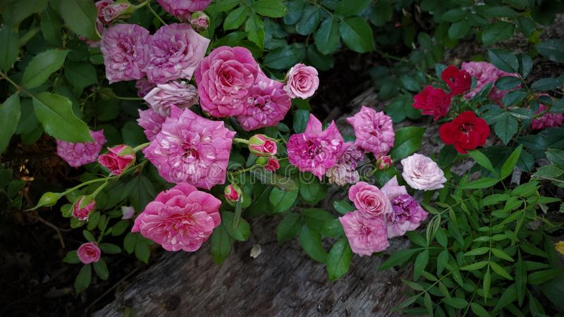 The variety colored rose bush stock image