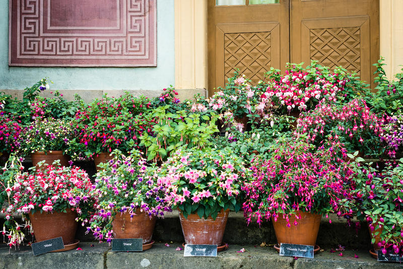 Variety of fuchsia in pots outside Chinese pavilion in Drottningholm Palace which is a famous landmark in Stockholm, Sweden royalty free stock images