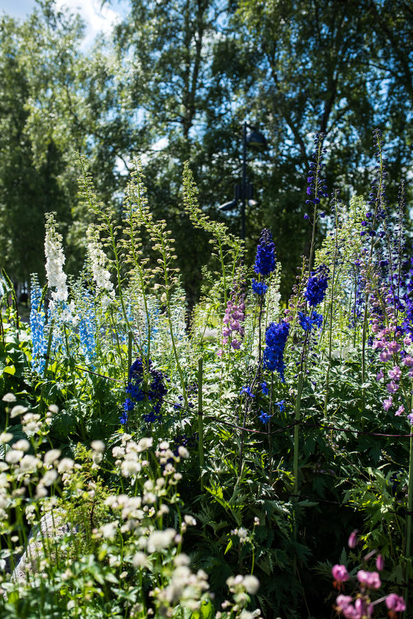 Variety of garden delphiniums. Variety of garden larkspur, delphiniums of different colors in a finnish park stock photo