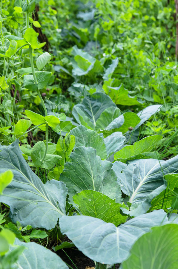 A variety of plants and vegetables grown in the garden stock photo