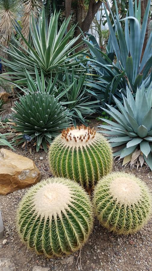 Variety of prickly succulents in a garden stock photography