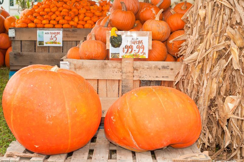 Variety of pumpkins and dried corn stokes stock photos