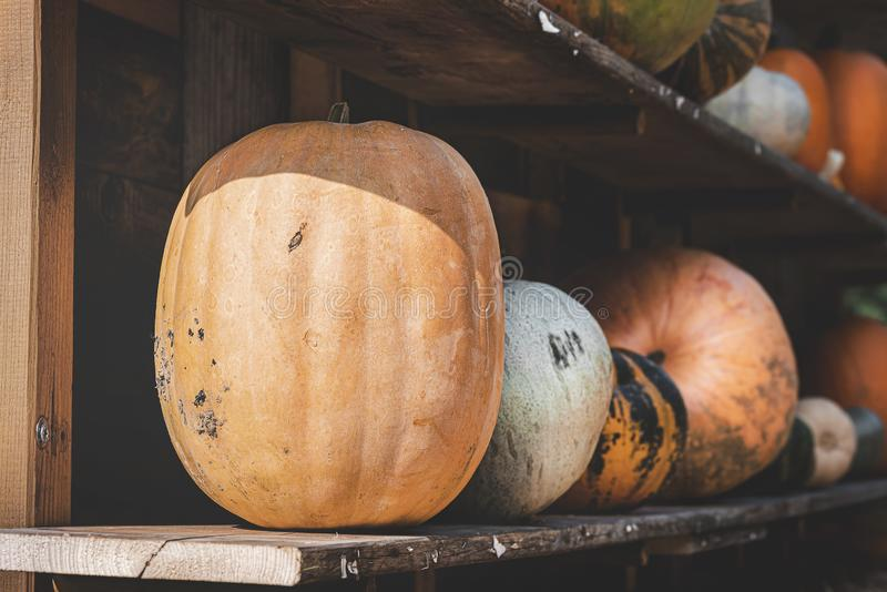 Harvested pumpkins on wooden shelves. Pumpkin assortment at farm stock photo