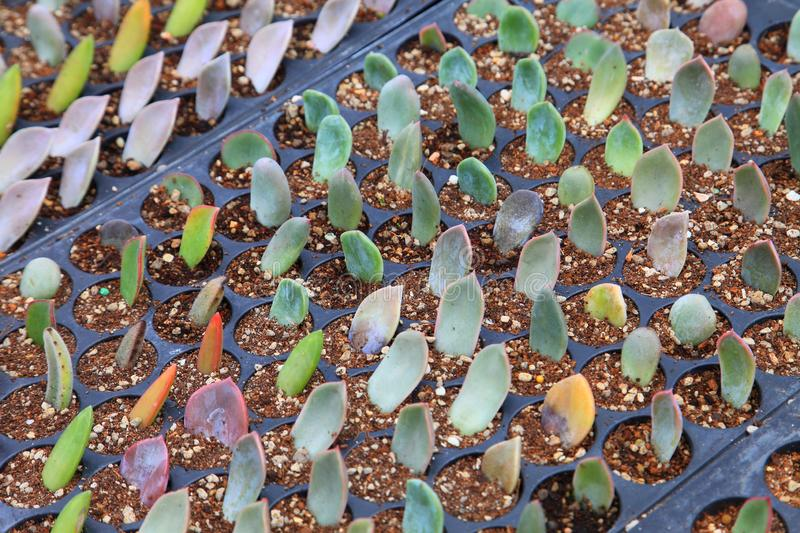 Variety of succulent leaf cutting propagation technique in potting tray with peat free compost mix with perlite. Variety of succulent leaves cutting propagation stock images