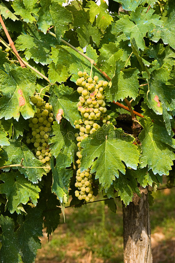 Download Bunch of grapes stock image. Image of fruit, agronomy - 30207897