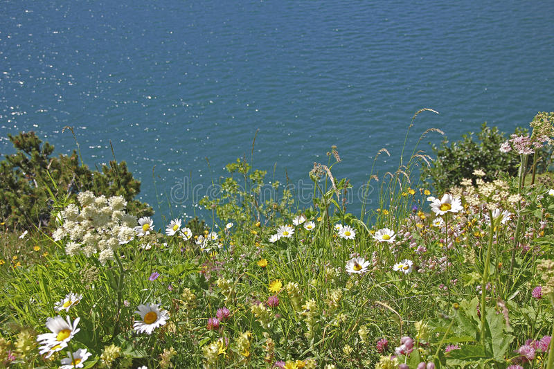 Variety of wildflowers at alpine lake shore lunersee royalty free stock photos