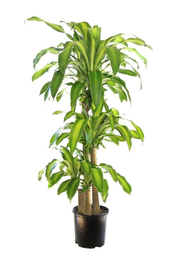 Free Varigated Dracaena Massangeana, Corn Plant Isolated On White Stock Images - 46518844