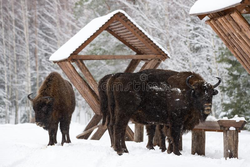 Vario Bison Near Feeders salvaje Bison Close Up maternal Europeo salvaje adulto Brown Bison Bison Bonasus In Winter Time adulto imagenes de archivo