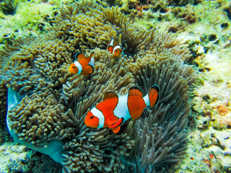 Vario Clownfish en anémona imagen de archivo
