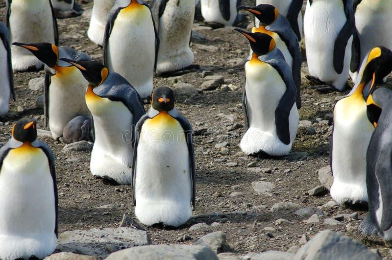 Vario rey pingüinos fotos de archivo