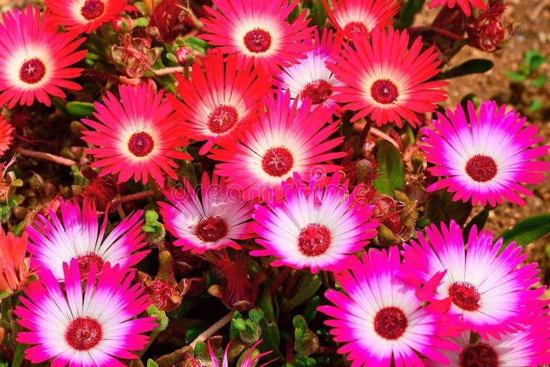 Variopinto, camomilla, crisantemo, wildflowers, fondo, wal fotografia stock libera da diritti