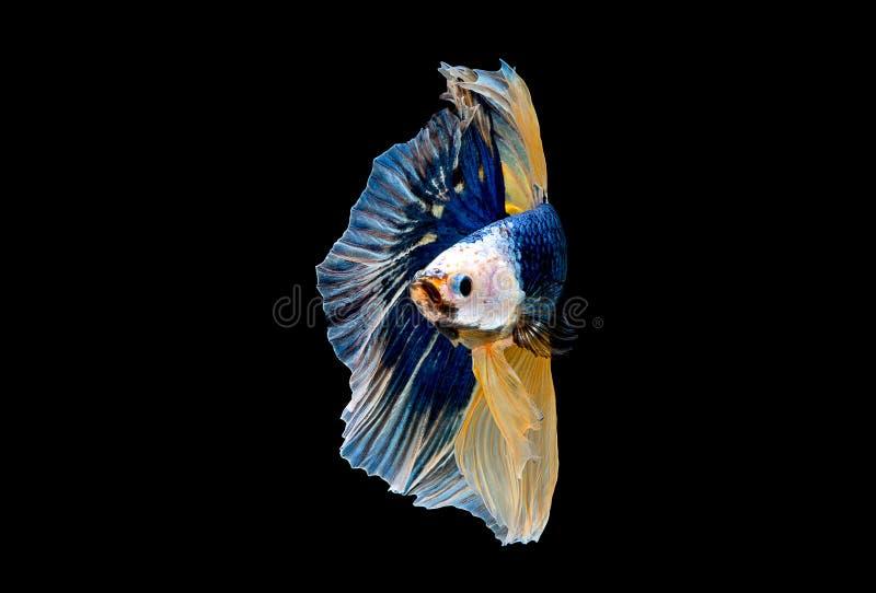 Variopinto con colore principale del pesce blu di betta, il pesce combattente siamese ? stato isolato su fondo nero Peschi inoltr fotografia stock