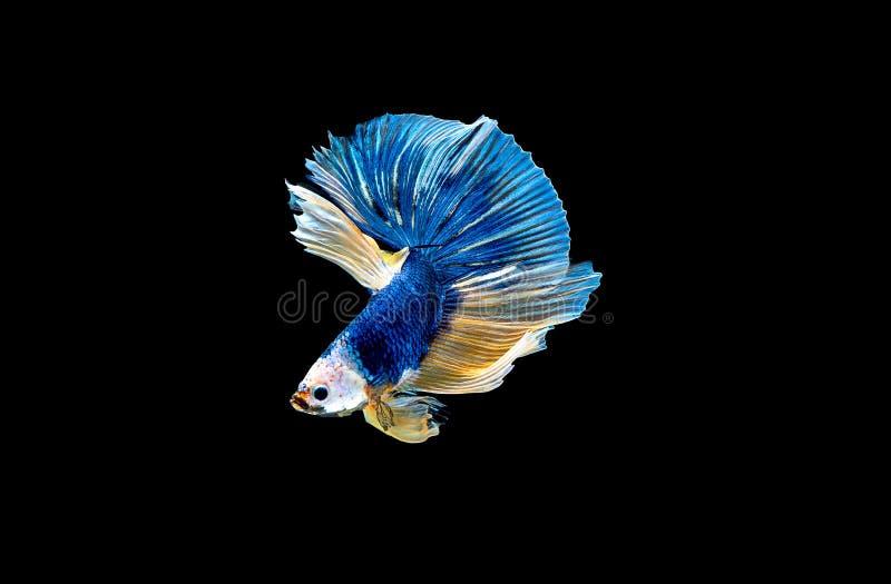 Variopinto con colore principale del pesce blu di betta, il pesce combattente siamese ? stato isolato su fondo nero Peschi inoltr immagine stock libera da diritti