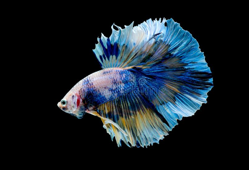 Variopinto con colore principale del pesce blu di betta, il pesce combattente siamese ? stato isolato su fondo nero Peschi inoltr fotografia stock libera da diritti