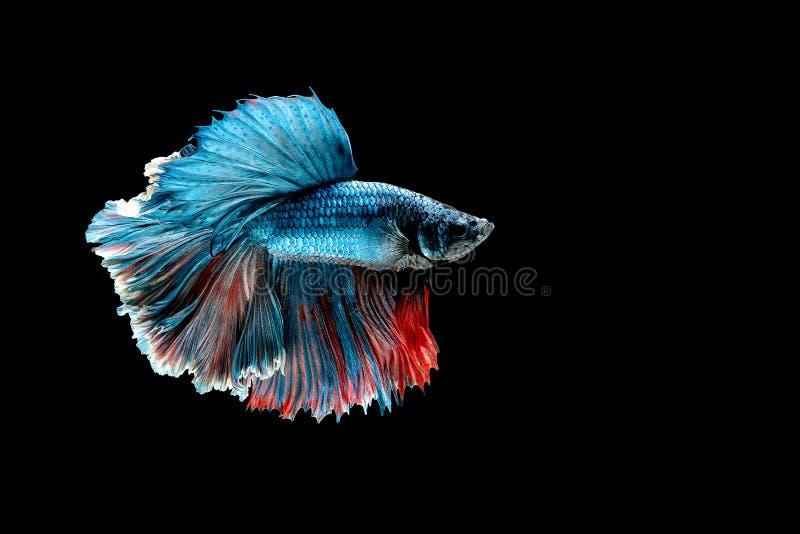 Variopinto con colore principale del pesce blu di betta, il pesce combattente siamese ? stato isolato su fondo nero Peschi inoltr fotografie stock