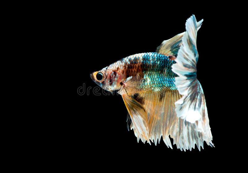 Variopinto con colore principale del pesce verde, nero e giallo di betta, il pesce combattente siamese ? stato isolato su fondo n immagini stock