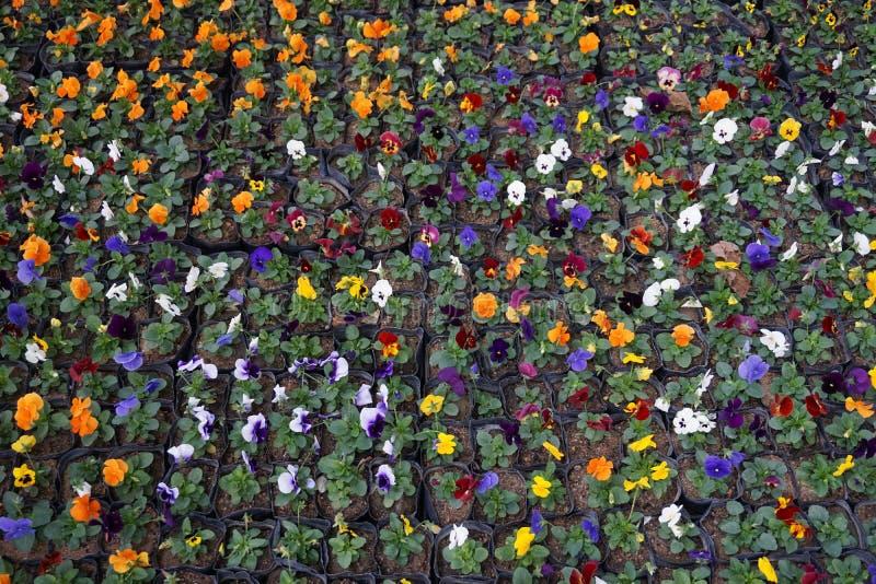 Variopinto del fiore della pansé fotografia stock