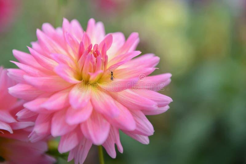 variopinto del fiore di rosa della dalia in bello giardino fotografia stock