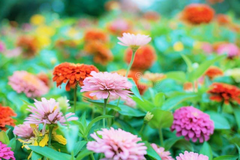 Variopinto del fiore di zinnia fotografia stock