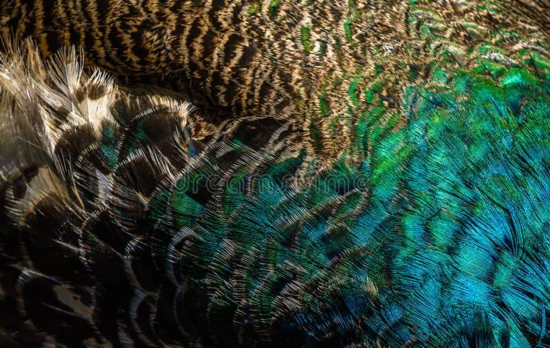 Variopinto del ` s dell'uccello del pavone verde mette le piume a immagini stock libere da diritti