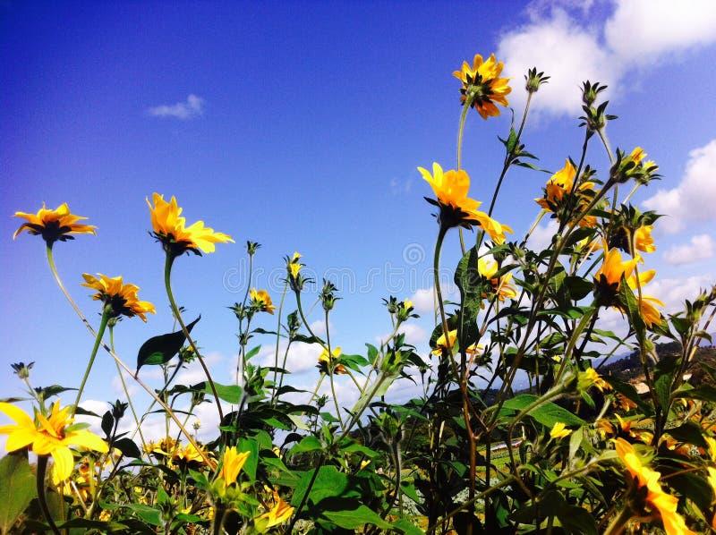 Variopinto pulito del sole di giorno del girasole bello fotografie stock libere da diritti