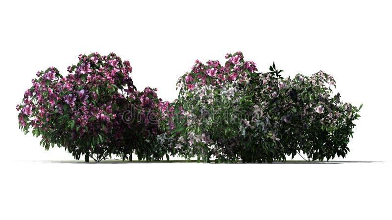 Varios varios arbustos de la azalea con los flores rosados y blancos ilustración del vector